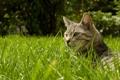 Картинка кошка, трава, лежит