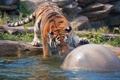 Картинка кошка, вода, тигр, игра, мяч, купание, амурский