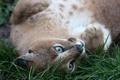 Картинка кошка, трава, морда, каракал, степная рысь