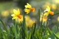 Картинка яркость, весна, нарциссы, лепестки, цветение