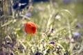 Картинка цветы, природа, мак, растения