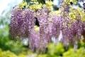 Картинка цветение, кустарник, Bush, Глициния, flowering, Wisteria