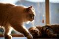 Картинка усы, солнце, дом, коты, окно, два, сиамский