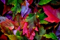 Картинка осень, листья, природа, краски, багрянец