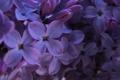 Картинка фиолетовый, макро, сирень