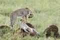 Картинка камни, пара, котята, гепард, саванна