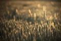 Картинка колоски, обои, лето, природа, поле, вечер