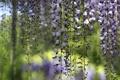 Картинка дерево, кисти, цветки, сиреневые, вистерия