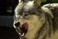 Картинка язык, волк, хищник, паст