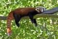 Картинка профиль, firefox, красная панда, отдых, малая панда, сон
