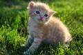 Картинка трава, котенок, газон, пушистый, рыжий