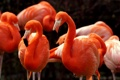 Картинка птицы, природа, American Flamingos