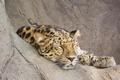 Картинка морда, отдых, сон, хищник, леопард