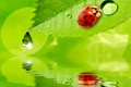 Картинка капли, water, вода, ladybug, drops, reflection, божья коровка
