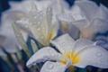 Картинка капли, белые, вода, цветы