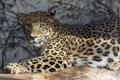Картинка ©Tambako The Jaguar, солнце, персидский, тень, кошка, леопард