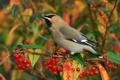 Картинка ягоды, птица, ветка, свиристель
