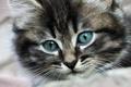 Картинка фон, обои, пушистый, котенок
