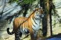 Картинка тигр, хищник, амурский