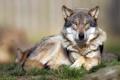 Картинка взгляд, природа, волк