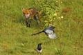 Картинка птицы, куст, лиса, охота, сороки, в засаде