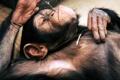 Картинка лежит, Шимпанзе, отдыхает