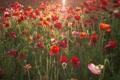 Картинка лето, цветы, маки, красные