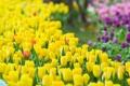 Картинка цветы, весна, тюльпаны, бутоны, tulips