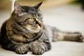 Картинка кошка, кот, взгляд, лежит, Cat