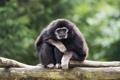 Картинка примат, обезьяна, гиббон