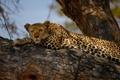 Картинка кошка, дерево, отдых, леопард