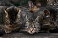 Картинка кошек, несколько, много