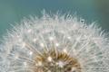 Картинка капли, цветок, одуванчик, роса, былинка, вода
