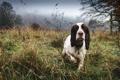 Картинка друг, Spaniel, Mist, взгляд, собака