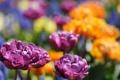 Картинка цветы, желтые, тюльпаны, сиреневые, махровые