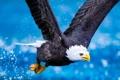 Картинка вода, полет, птица, орел, крылья, Животные, когтт