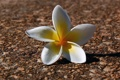 Картинка белый, цветок, лепестки, плюмерия