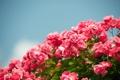 Картинка цветы, розы, кустарник