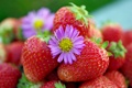 Картинка макро, ягоды, клубника, цветочек