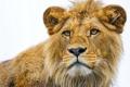Картинка морда, хищник, лев, крупным планом