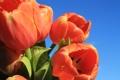 Картинка небо, солнце, букет, тюльпаны, красные