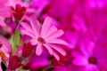 Картинка цветы, яркие, розовые, цинерария, Senecio-Cruentus