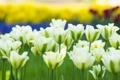 Картинка тюльпаны, бутоны, белые тюльпаны