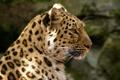 Картинка морда, хищник, пятна, леопард, профиль, мех, дикая кошка