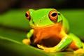 Картинка глаза, природа, лист, лягушка, земноводное