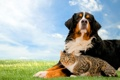 Картинка лужайка, собака, трава, кошка