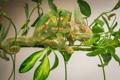 Картинка природа, фон, Chameleon