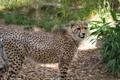 Картинка кошка, гепард, детёныш