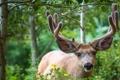 Картинка зелень, лес, животное, олень, рога