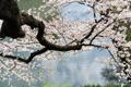Картинка вода, дерево, ветви, цветение, веснаный